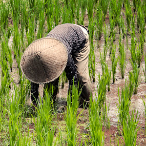 Rice Paddy Worker by Ozge Kesim Yurtsever - People Street & Candids ( rice field worker, rice, rice paddy worker, worker )