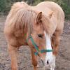 Horse 'American Quarter Horse'
