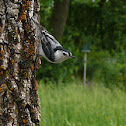 White-breated nuthatch