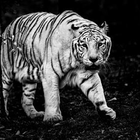White tiger by Cristobal Garciaferro Rubio - Black & White Animals ( big cat, cat, white tiger, tiger )