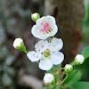 Common hawthorn, espino albar