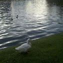 Pekin Duck (Long Island Duck)