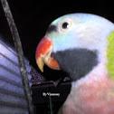 Red-breasted Parakeet / Javan Parakeet / Betet Jawa