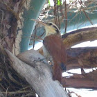 Narrow-billed Woodcreeper; Arapaçu-do-cerrado(Brazil)