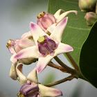 Calatropis gigantia (रूई)