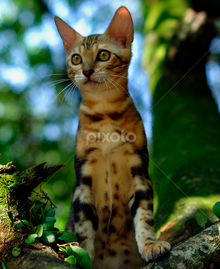 by Cacang Effendi - Animals - Cats Portraits ( cats, cattery, kitten, chandra, animal )