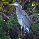 Great Blue Heron (juv.)