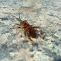 Chinche de las piñas (ES)  western conifer seed bug (EN)