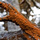 Rust-colored Algae