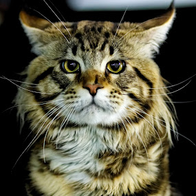 what by Darko Kovac - Animals - Cats Portraits ( cat, blur background, colorful, maine coon, multicolor, feline, head, stripes, close up, portrait, eyes )