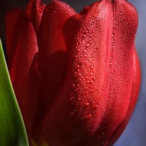 by Nicolaie Subotin - Flowers Single Flower