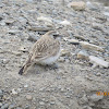Horned Lark or Shore Lark (female)