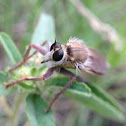 Robber fly species?