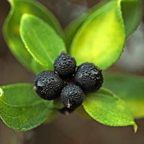 Ornamental Berries by Melanie Melograne - Nature Up Close Other plants ( plant, wild berries, renewal, green, trees, forests, nature, natural, scenic, relaxing, meditation, the mood factory, mood, emotions, jade, revive, inspirational, earthly )