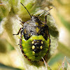Southern green stink bug nymph
