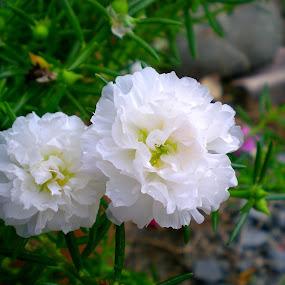 White Moss  by Jo-Ann Tan - Flowers Flowers in the Wild