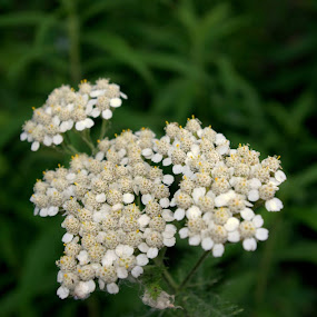 White Flower by Henry Riley - Flowers Flower Gardens (  )