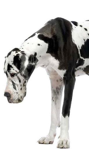 大丹犬壁纸