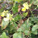 Yellow Vigna or cowpea