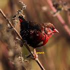 Red Avadavat  ( StrawberryFinch)