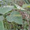 Scudder's Bush Katydid