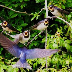 spot the grump by David Walker - Animals Birds ( housemartins )