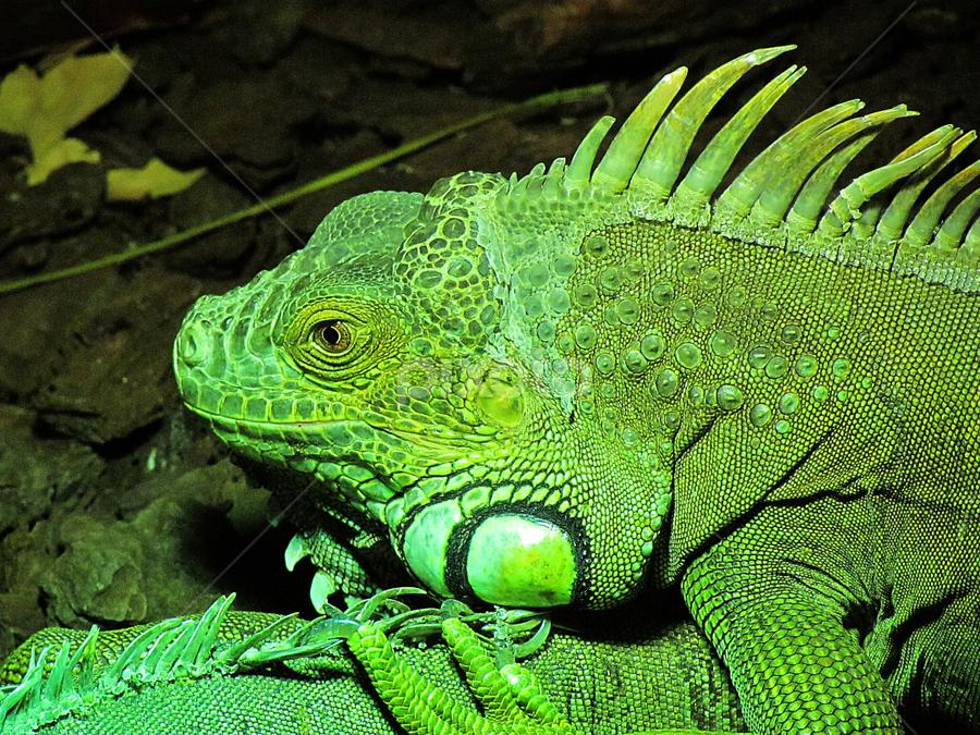 Iguana iguana by Virgílio Nóbrega - Animals Reptiles ( lisbon zoo, iguana iguana, iguana, portugal, green iguana,  )