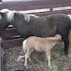 Shetland pony mare and foal