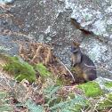 Swamp Wallaby (Black Wallaby)