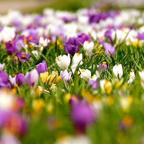 Spring by Cecilie Hansteensen - Flowers Flowers in the Wild ( krokus, color, crocus, flowery, spring, flower,  )