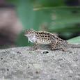 Love Lizards