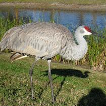 Cranes of Eastern USA