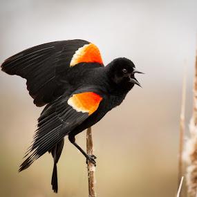 Red Winged Black Bird by Brandon Seidl - Animals Birds