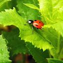 6-spotted Ladybug