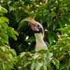 Luzon (Tarictic) Hornbill