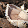 Banded Agaricus