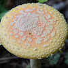 Yellow-orange Fly Agaric