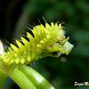 Lycaenid caterpillar