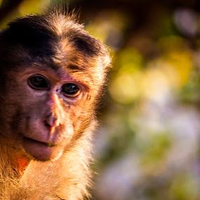 Portrait by Neel Gengje - Animals Other Mammals ( sunset, sunlight, light, portrait, monkey )