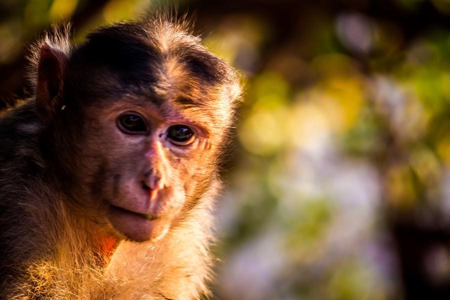 Portrait by Neel Gengje - Animals Other Mammals ( sunset, sunlight, light, portrait, monkey )