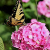 Clear winged humming bird moth & Tiger swallowtail butterfly