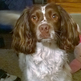 The ' I wanna go out ' face even though its 2mins since she went out. Sure its either birds or she has sensed a rat down the bottom of the gardendog by Andy Price - Animals - Dogs Portraits ( SpringerSpaniel, Dog, Dogsofinstragram, Stupid )