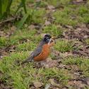 Varied Thrush or American Robin?