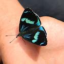 mariposa perisama / Perisama Butterfly