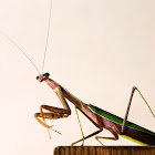 Chinese Mantis, male