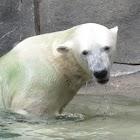 Polar Bears iSlider puzzles icon
