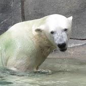 Polar Bears iSlider puzzles