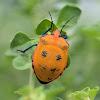 Orange Hibiscus Harlequin Bugs (female)