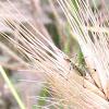 Katydid (nymph) Tettigoniidae