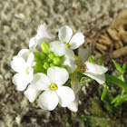 Coastal sea rocket